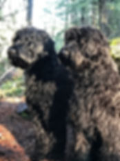Juniper Ridge Foundation Multi Gen Australian Labradoodles