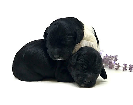 Bronco (male) & Scout (male) 1 week old