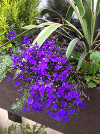 Lobelia in a window box
