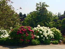 three varieties of Hydrangea