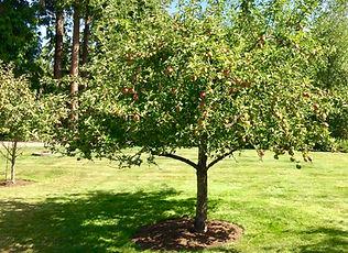 Organically grown Apple tree