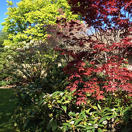 Japanese Maple and Rhododendrons