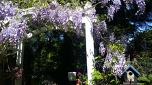 Wisteria Growing on the Arbour
