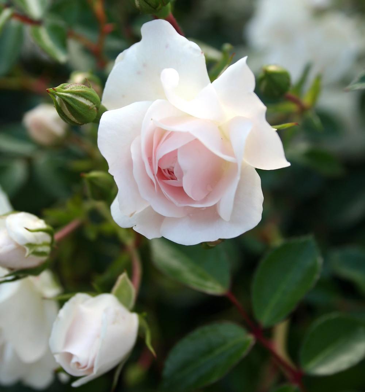 Foro rosa fiorita