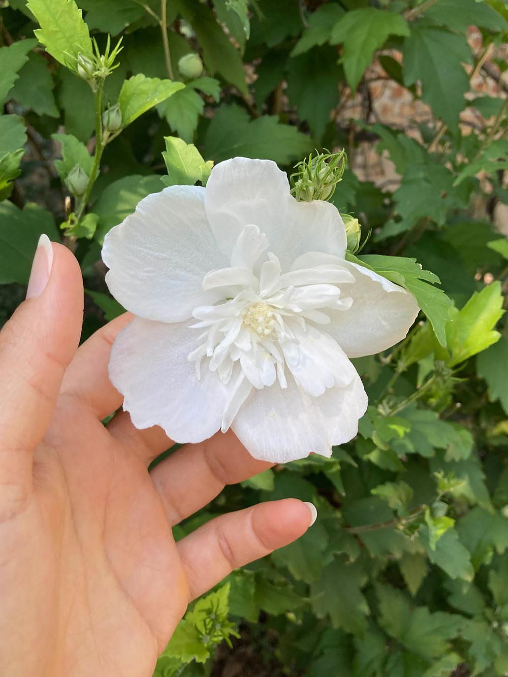 Fiore bianco. Il fiore è il simbolo di bellezza per la tradzione Nahual.