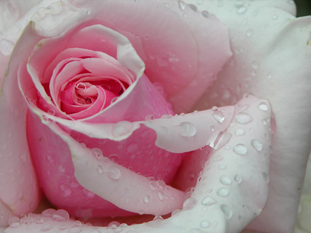 Rosa, fiore di rinascita
