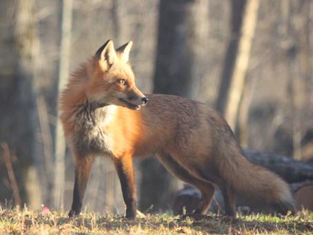 Gli animali del bosco, miti e leggende.