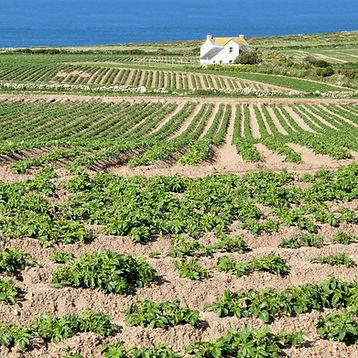 Potato fields near Lands End.jpg