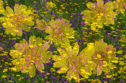 Corn Marigolds and Vipers Bugloss