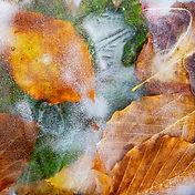Leaves in Ice.jpg