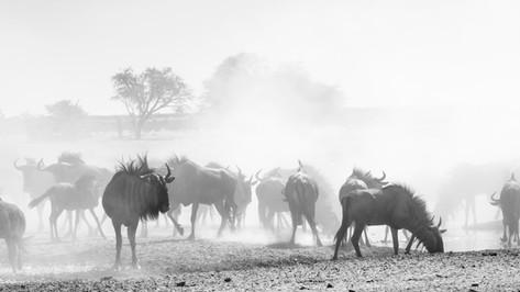 Wildebeest 3.