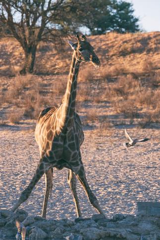 Kgalagadi Giraffe 2.
