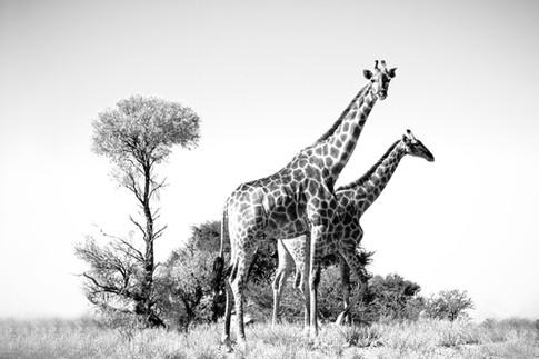 Kgalagadi Giraffe 4.