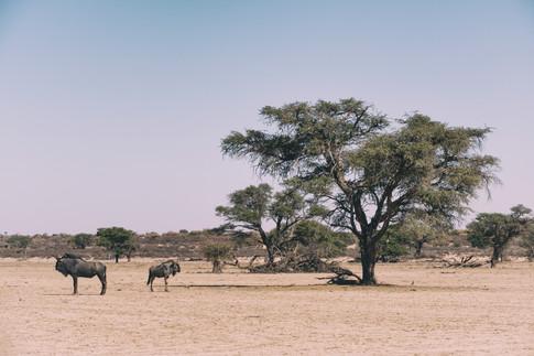 Wildebeest 4.