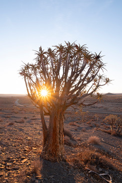 Gannabos Quiver Tree Forest 3.