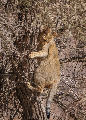 Kgalagadi Wild Cat
