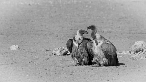 Kgalagadi Vultures