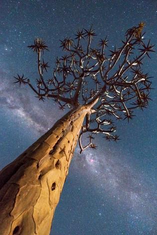 Namibia Quiver Tree 1.