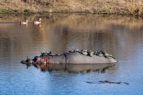 Hippo Taxi 2.