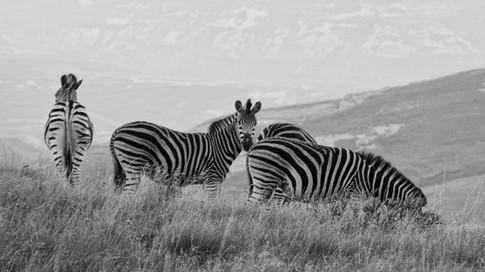 Golden Gate Zebra
