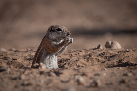 Kgalagadi Ground Squirrel