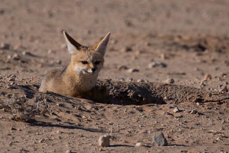Kgalagadi Cape Fox