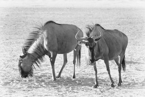 Wildebeest 1.