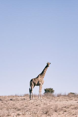 Kgalagadi Giraffe 3.