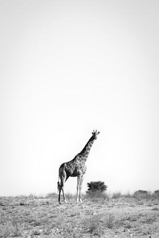 Kgalagadi Giraffe 1.