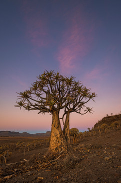 Gannabos Quiver Tree Forest 4.