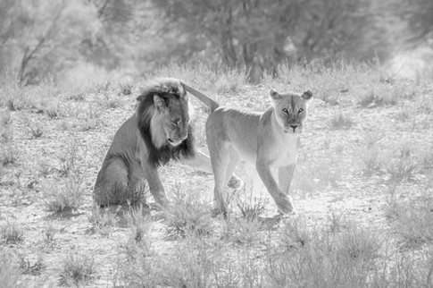 Kgalagadi Lions 1.