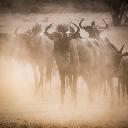 Wildebeest 6.