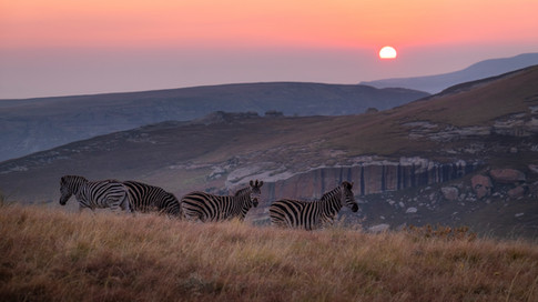 Golden Gate Zebra At Sunrise