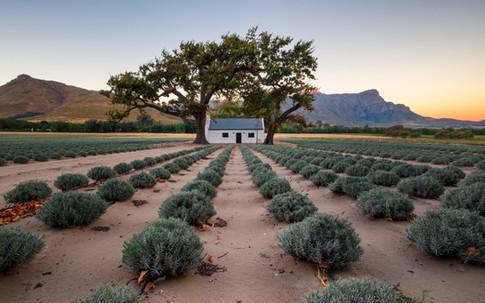 Franschhoek Lavender Farm