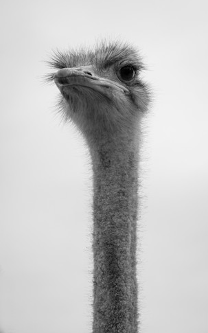 Oudtshoorn Ostrich Portrait