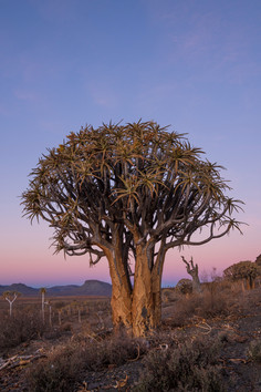 Gannabos Quiver Tree Forest 5.