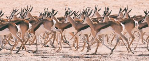 Springbok Herd 1.