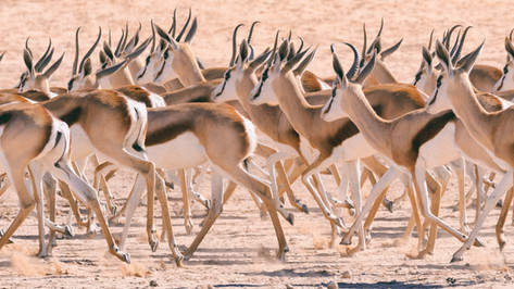 Springbok Herd 2.
