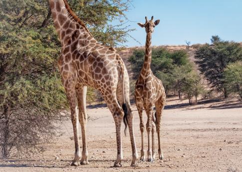 Kgalagadi Giraffe 5.