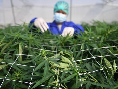 Regulación de mariguana, a la 'congeladora' en el Senado; se discutirá tras elecciones