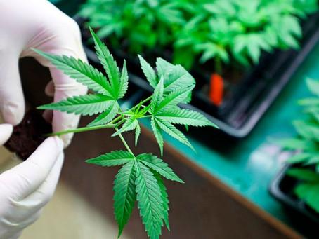 Corte publica sentencia sobre despenalización del uso lúdico y recreativo de la mariguana