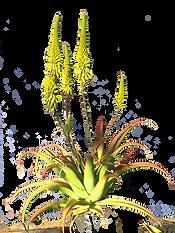 Aloe.png