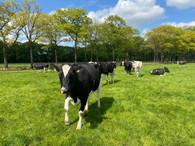 Onze koeien in de wei