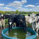 Onze koeien in de wei.JPG