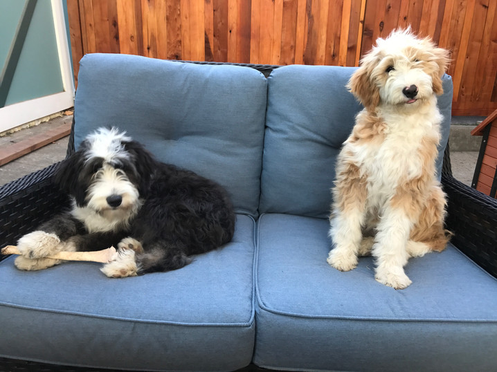 bernedoodle sisters