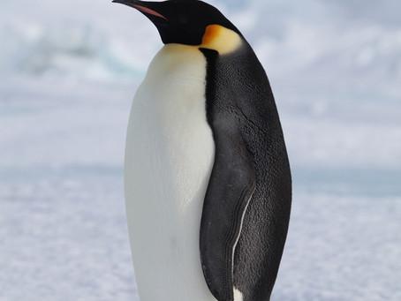 Pinguïn of kip?