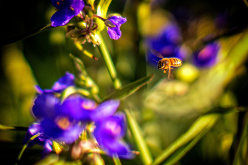 Bee and Spider Wort