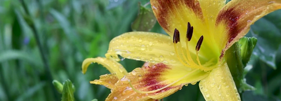 Day Lillies in Rain