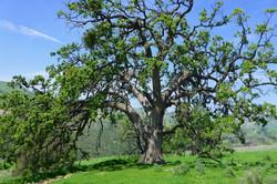 oaktree_edit