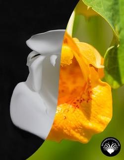 Jewel Weed Flower